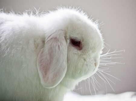 lop eared: White pet lop eared rabbit profile Stock Photo