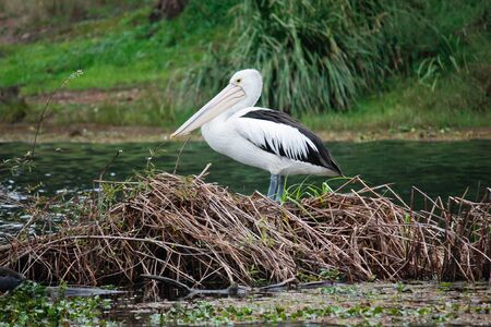 Australian pelican resting on a lake island Stock Photo - 13881587