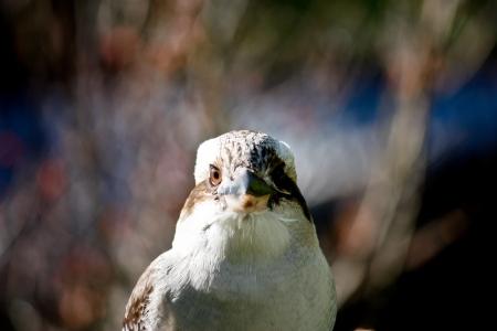 Australian native kookaburra Stock Photo - 13881436