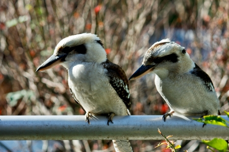 Two Australian kookaburras sitting on rail Stock Photo - 13880393