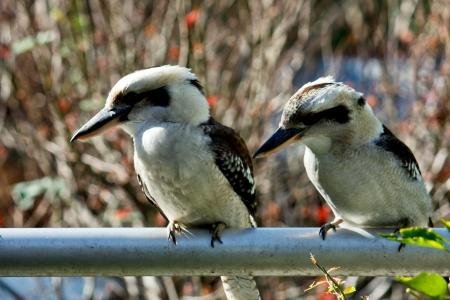 Two Australian kookaburras sitting on rail Stock Photo - 13880393