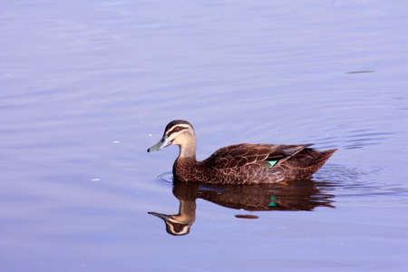 Brown duck swimming with reflection