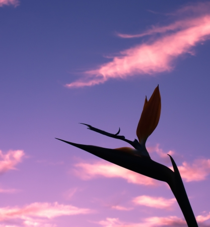 Sunset silhouette Bird of Paradise flower
