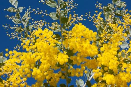 Australian yellow wattle flowers against blue sky Stock Photo
