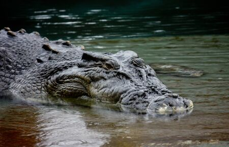 Close up Australian crocodile in shallow water Stock Photo - 14642409