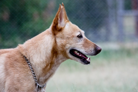 Australian dingo crossbreed dog in profile