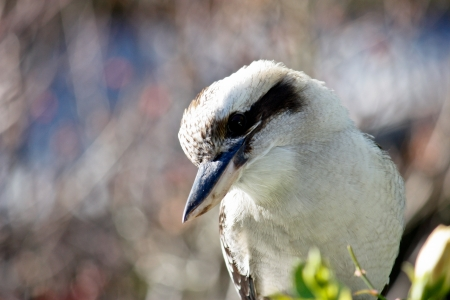 Australian kookaburra close up Stock Photo - 14642423