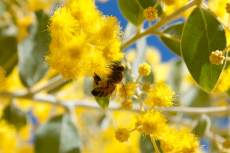 Bee collecting pollen from Australian yellow wattle blossoms Stock Photo - 14642408