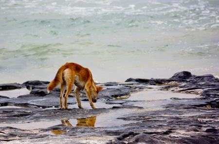 Australian wild dingo at sea side rock pool Stock Photo
