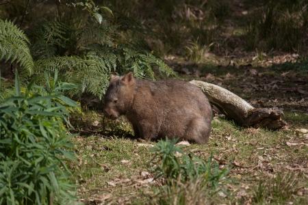 Australian wild wombat in bushland Stock Photo - 15209748