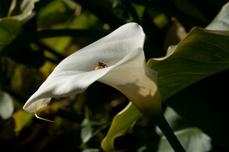 White Arum lily flower with bees Stock Photo