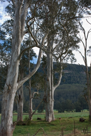 Tall Australian eucalyptus gum trees on farm