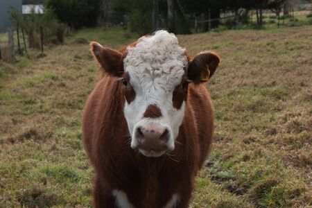 Brown and white cow on farm Stock Photo