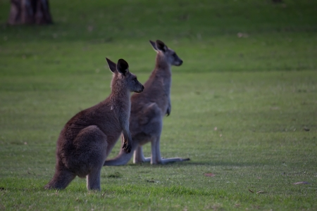 Two Australian kangaroos standing in open grass field