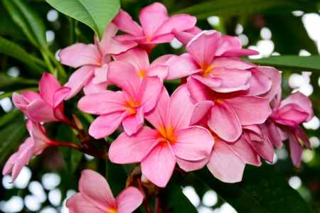 Tropical pink frangipani flowers