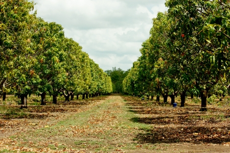 mango fruta: Plantaci�n de �rboles de mango en Northern Territory Australia