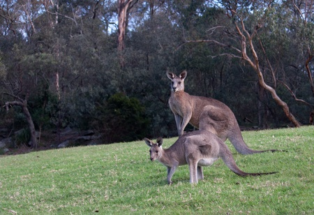 Two kangaroos standing in grass field Stock Photo - 15129492