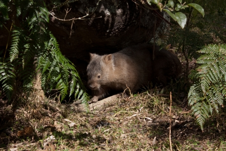 Australian wombat emerging from burrow in bushland Stock Photo - 15129578