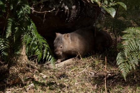 Australian wombat emerging from burrow in bushland Stock Photo