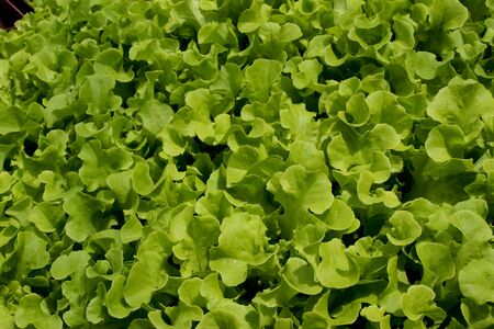Fresh green baby lettuce plants Stock Photo