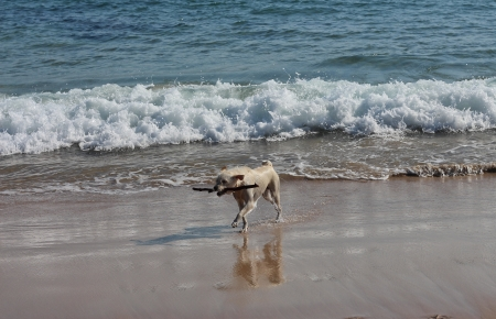 Happy wet dog on surf beach with stick