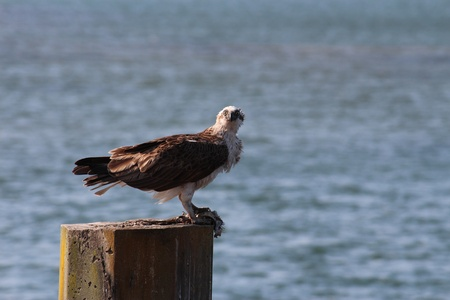 Osprey fish hawk on sea post with prey Stock Photo