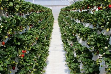 Strawberry farm plantation filled with ripening fruit Stock Photo - 15906930