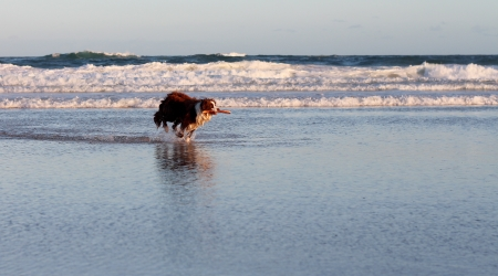 Border collie dog on surf beach with stick photo