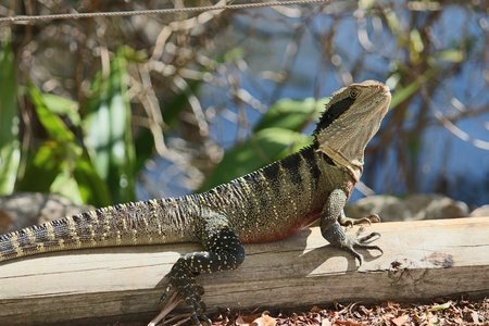 Australian water dragon reptile