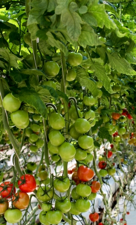 Tomato plant filled with ripening fruit Stock Photo