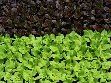 Red and green leaf lettuce seedlings