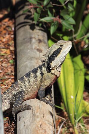 Australian water dragon reptile on log