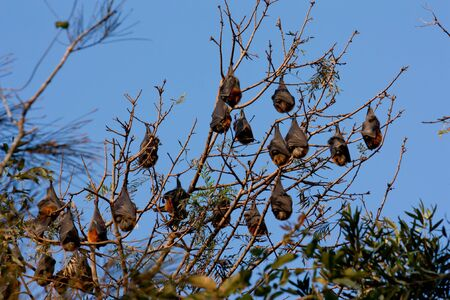 Colony of bats hanging from trees against blue sky