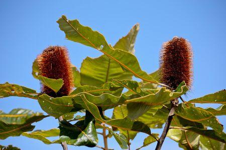 Australian native banksia flowers against blue sky Stock Photo - 16544919