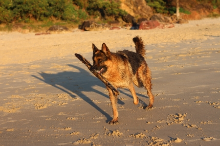 German shepherd dog running on beach with stick