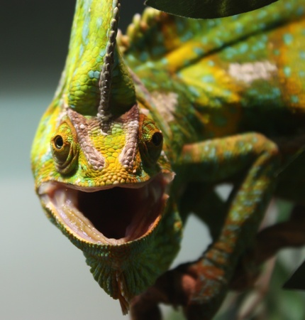 Close up Chameleon reptile Stock Photo