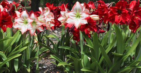 Red white Hippeastrum flowers Stock Photo