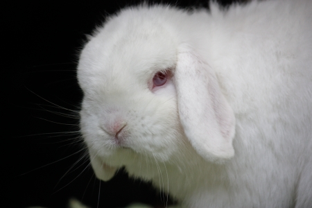 White lop eared pet rabbit close up
