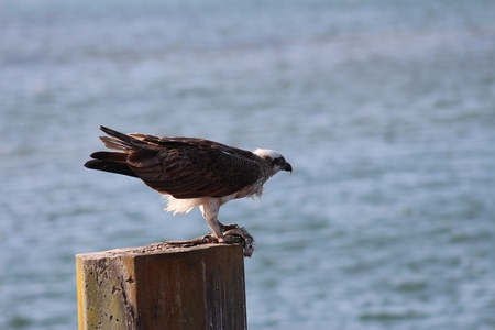 Osprey fish hawk on seaside post Stock Photo