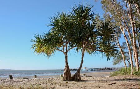 Pandanus tree on Fraser Island, Queensland, Australia