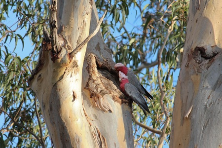 Australian galahs in gum tree tending nest