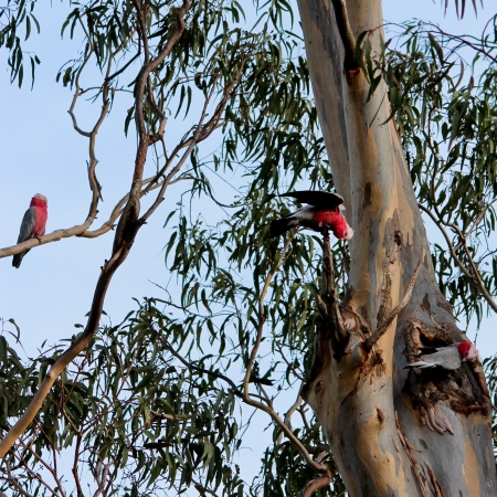 cockatoos: Australian galah cockatoos in gum tree Stock Photo