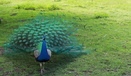 Peacock bird with colourful tail feathers