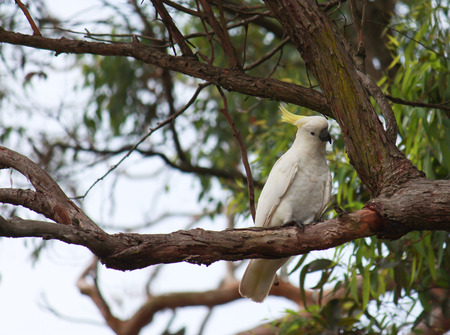 Australian sulphur-crested cockatoo on tree branch Stock Photo