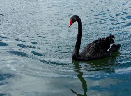 Australian black swan on lake