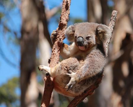 Australian koala relaxing in eucalyptus gum tree Stock Photo
