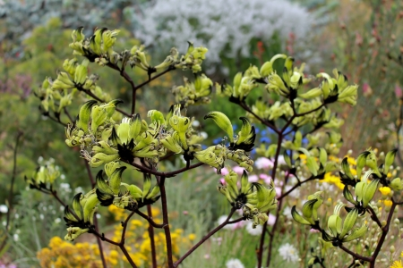 Native Australian green kangaroo paw flowers
