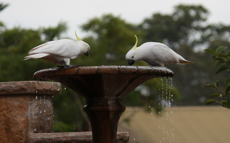 Pair Australian cockatoos drinking from birdbath