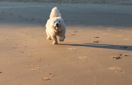 Happy white pet dog running along beach sand