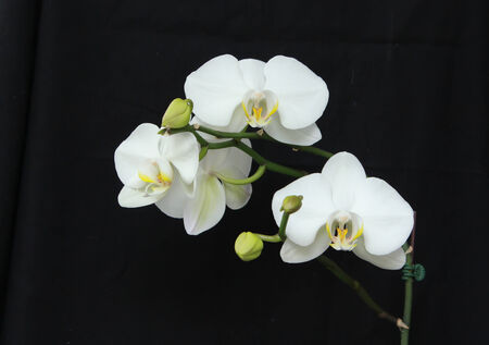 White orchid flowers against black background Stock Photo